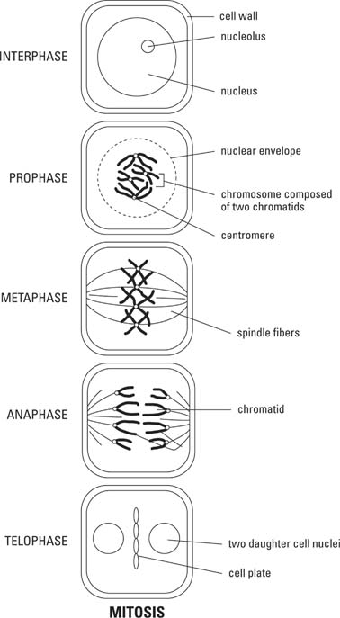 biology  mitosis and meiosis  diagrams    helpline for icse    mitosis diagram